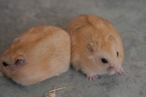 Madiunhamster Jual Hamster Murah
